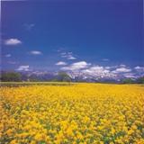 Yellowfield2